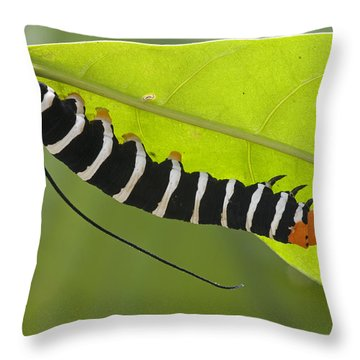 Hawk Moth Caterpillar Guyana Throw Pillow by Piotr Naskrecki