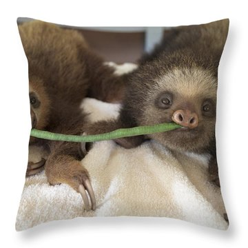 Hoffmanns Two-toed Sloth Orphans Eating Throw Pillow by Suzi Eszterhas