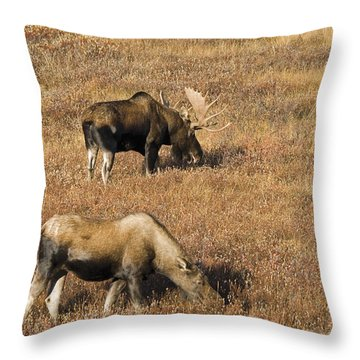 Male And Female Moose Alces Alces In Throw Pillow by Philippe Widling