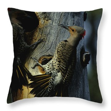 Northern Flickers Fight Over Nesting Throw Pillow