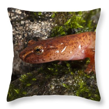 Northern Spring Salamander Gyrinophilus Throw Pillow by Pete Oxford