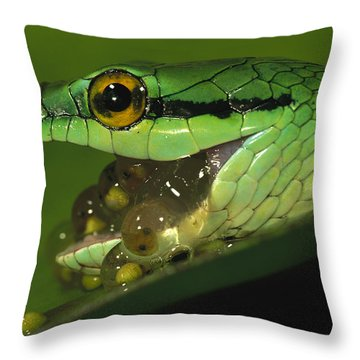 Parrot Snake Eating Tree Frog Eggs Throw Pillow by Christian Ziegler