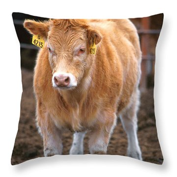 Piedmontese-hereford Crossbred Calf Throw Pillow by Science Source