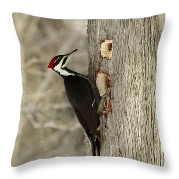 Pileated Woodpecker Excavating A Cedar Tree Throw Pillow by Inspired Nature Photography Fine Art Photography