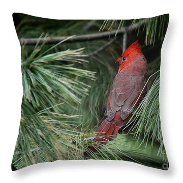 Throw Pillow featuring the photograph Red Cardinal In Green Pine by Nava Thompson