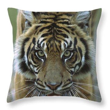 Sumatran Tiger Panthera Tigris Sumatrae Throw Pillow by Zssd