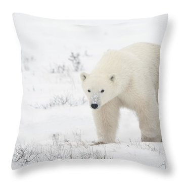 Young Polar Bear Ursus Maritimus Walks Throw Pillow by Richard Wear