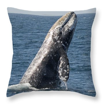 Breaching Gray Whale In Dana Point Throw Pillow by Loriannah Hespe