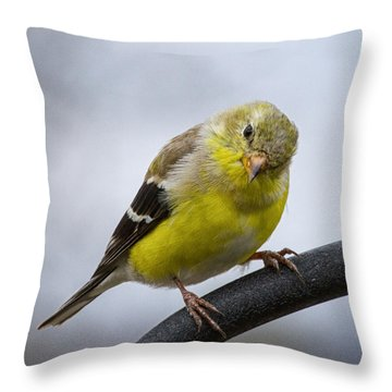American Goldfinch Throw Pillow by Brian Caldwell
