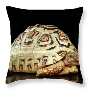Closeup Leopard Tortoise Albino,stigmochelys Pardalis Turtle With White Shell On Isolated Black Back Throw Pillow