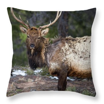 Elk In Rocky Mountain National Park  Throw Pillow
