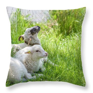 Throw Pillow featuring the photograph Three Little Lambs by Patricia Hofmeester