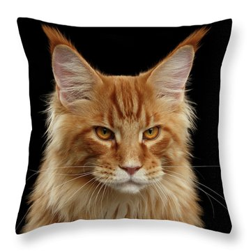 Throw Pillow featuring the photograph Angry Ginger Maine Coon Cat Gazing On Black Background by Sergey Taran