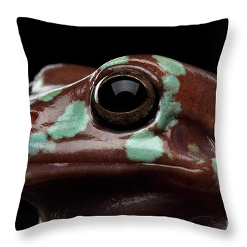 Australian Green Tree Frog, Or Litoria Caerulea Isolated Black Background Throw Pillow by Sergey Taran