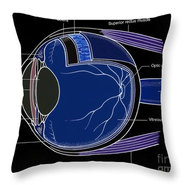 Illustration Of Eye Anatomy Throw Pillow by Science Source