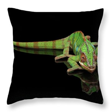 Sneaking Panther Chameleon, Reptile With Colorful Body On Black Mirror, Isolated Background Throw Pillow by Sergey Taran