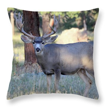 Throw Pillow featuring the photograph 8x8 Mule Deer by Shane Bechler