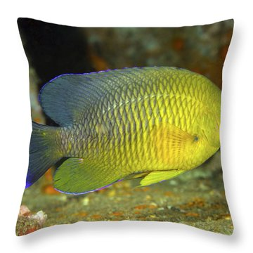 A Dusky Damselfish Offshore From Panama Throw Pillow by Michael Wood