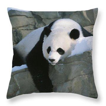 A Panda Rests In The Throw Pillow