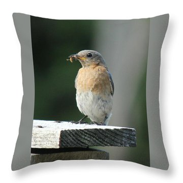 Throw Pillow featuring the photograph American Robin by Charles and Melisa Morrison