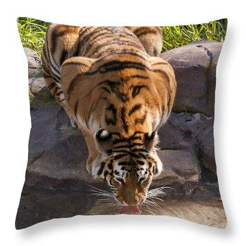 Amur Tiger Drinking Throw Pillow