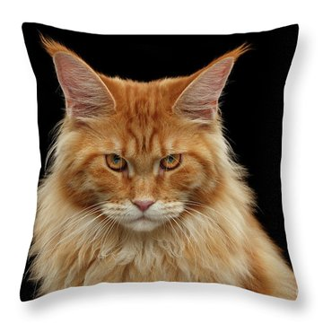 Angry Ginger Maine Coon Cat Gazing On Black Background Throw Pillow
