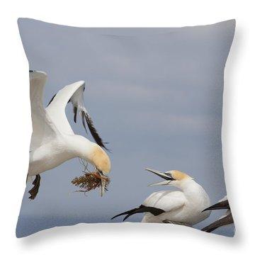 Australasian Gannet With Nesting Material Throw Pillow
