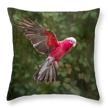 Australian Galah Parrot In Flight Throw Pillow by Patti Deters