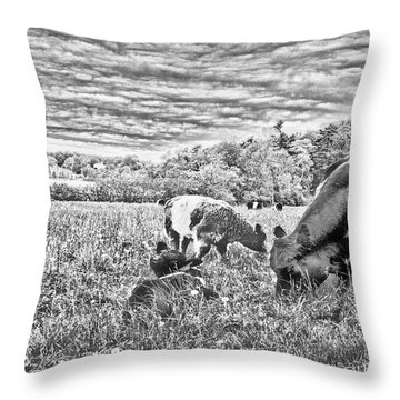 Belted Galloway Beef Cattle Throw Pillow by Daniel Hebard