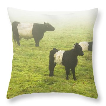 Belted Galloway Cows Grazing  In Foggy Farm Field Maine Throw Pillow