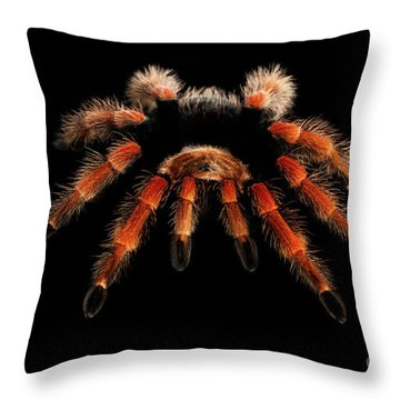Big Hairy Tarantula Theraphosidae Isolated On Black Background Throw Pillow