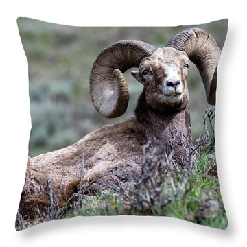 Throw Pillow featuring the photograph Big Horn Sheep #3 by Scott Read