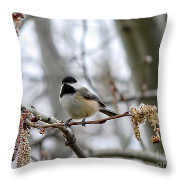 Black-capped Chickadee 20120321_39a Throw Pillow by Tina Hopkins