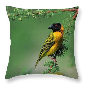 Black-headed Weaver Throw Pillow by Tony Beck