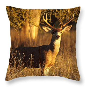 Throw Pillow featuring the photograph Black-tailed Deer Buck At Dusk by Max Allen
