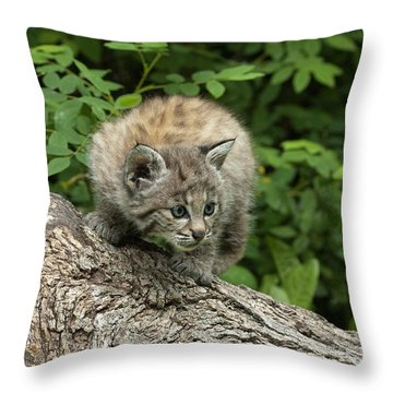 Bobcat Kitten Exploration Throw Pillow by Sandra Bronstein