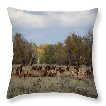 Bull Elk And Harem Throw Pillow