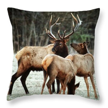 Bull Elk With Cows In The Late Rut Throw Pillow