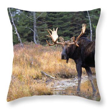 Bull Moose In Stream Throw Pillow by Natural Selection Bill Byrne