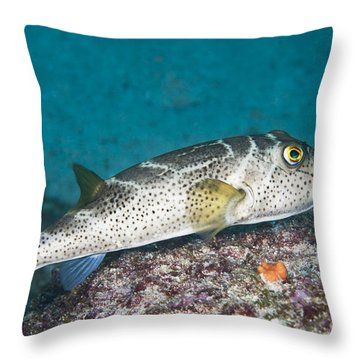 Bullseye Puffer - Galapagos Throw Pillow by Dave Fleetham - Printscapes