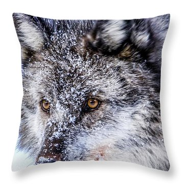 Canadian Grey Wolf In Portrait, British Columbia, Canada Throw Pillow