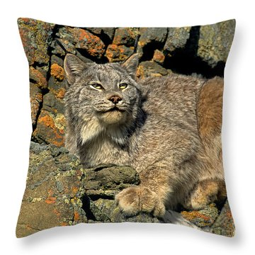 Throw Pillow featuring the photograph Canadian Lynx On Lichen-covered Cliff Endangered Species by Dave Welling