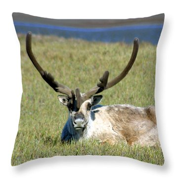 Caribou Resting In Tundra Grass Throw Pillow by Anthony Jones