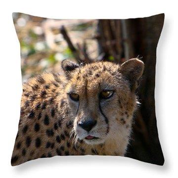 Cheetah Gazing Throw Pillow by Douglas Barnett