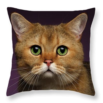 Closeup Golden British Cat With  Green Eyes On Purple  Throw Pillow