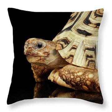 Closeup Leopard Tortoise Albino,stigmochelys Pardalis Turtle With White Shell On Isolated Black Back Throw Pillow by Sergey Taran