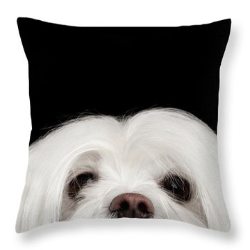 Closeup Nosey White Maltese Dog Looking In Camera Isolated On Black Background Throw Pillow