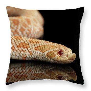 Closeup Pink Pastel Albino Western Hognose Snake, Heterodon Nasicus Isolated On Black Background Throw Pillow by Sergey Taran