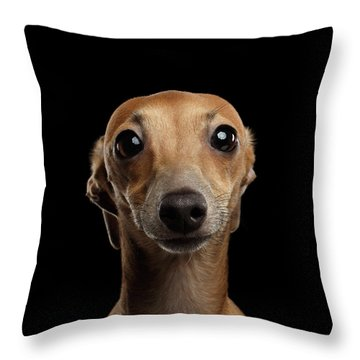 Closeup Portrait Italian Greyhound Dog Looking In Camera Isolated Black Throw Pillow