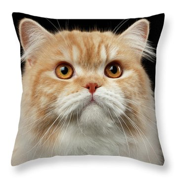 Throw Pillow featuring the photograph Closeup Portrait Of Red Big Persian Cat Angry Looking On Black by Sergey Taran